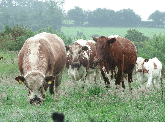 Herd of Irish Moiled Cattle
