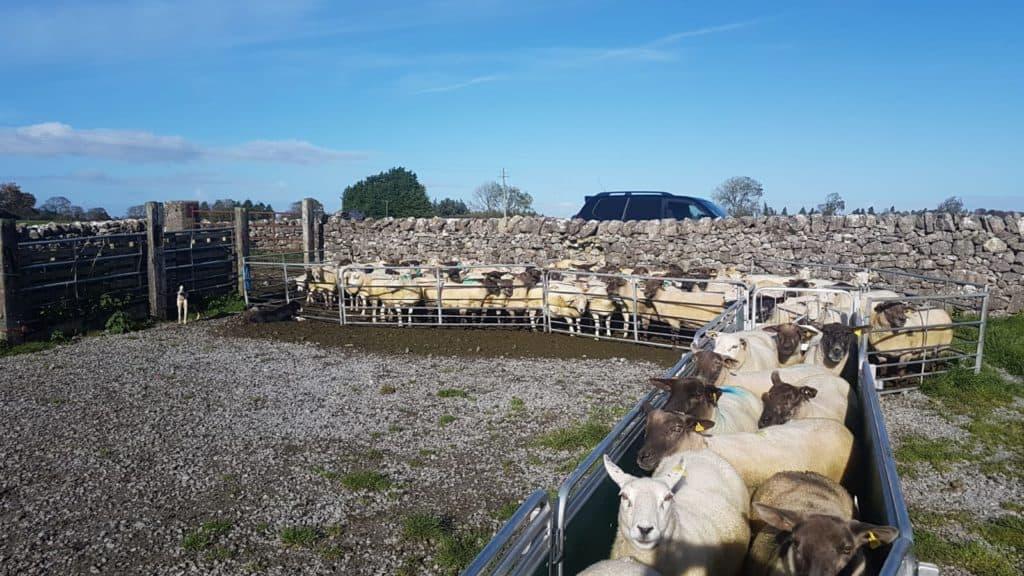 Sheep Genetic Improvement