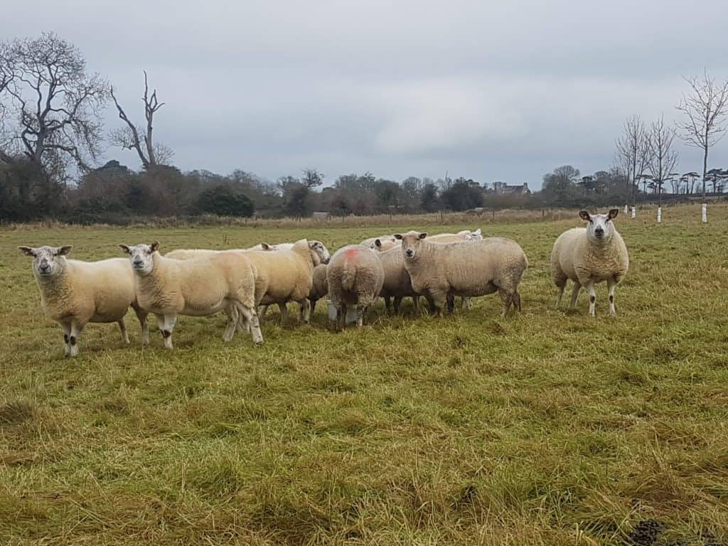 Sheep Welfare Scheme