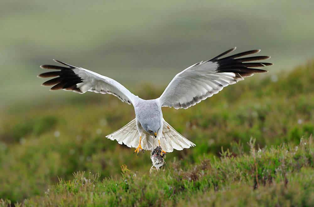 An Innovative Option to Support Hill Farmers for Biodiversity Conservation in the Irish Uplands Blog (6)