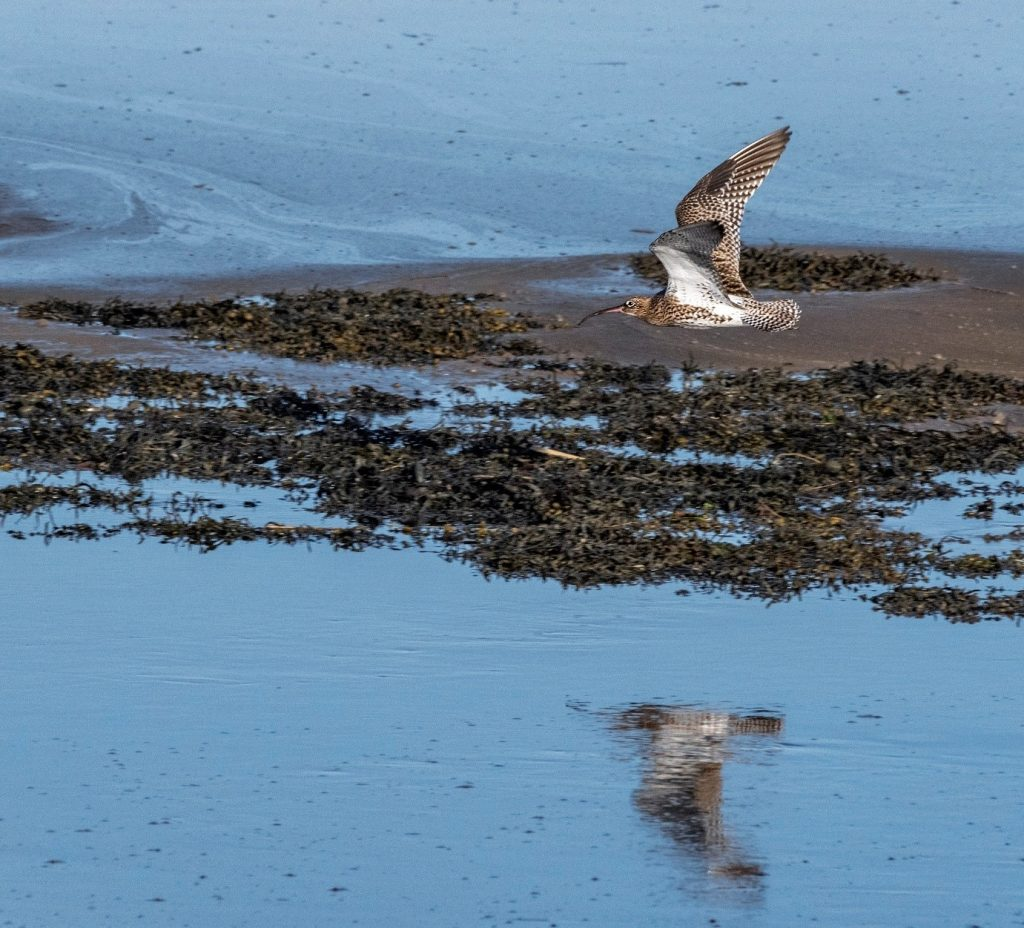Curlew Conservation Programme